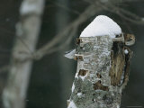 A Nuthatch on a Snow-Covered Tree Trunk Reproduction photographique par Tim Laman