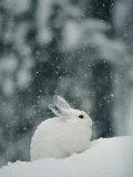 Snow Falls on a Snowshoe Hare in its Winter Coat Photographie par Michael S. Quinton