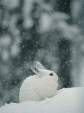 Snow Falls on a Snowshoe Hare in its Winter Coat Fotografiskt tryck av Michael S. Quinton