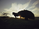 Silhouette of Horse-Drawn Hay Wagon at Sunset Photographic Print by Sam Abell
