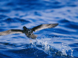 Wedge-Tailed Shearwater Running on Water for Flight Take Off Photographic Print by Jason Edwards
