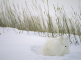 View of Arctic Fox (Alopex Lagopus) in its Winter Pelt Curled up in the Snow Photographic Print by Maria Stenzel