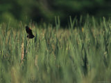 A Red-Wing Blackbird Perched on a Cattail Photographic Print by Raymond Gehman