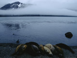 Elephant Seals Huddle on the Beach of Stromness Bay Photographie par Maria Stenzel