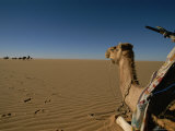 A Tired Camel Rests as the Caravan Begins to Resume the Sahara Trek Photographic Print by Carsten Peter