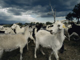 A Herd of Goats on a Farm under a Stormy Sky Photographic Print