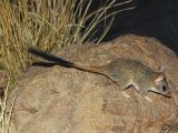 An Endangered Red-Tailed Phascogale on a Rock Near Grasses Photographic Print by Jason Edwards