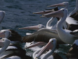 A Group of Australian Pelicans Sitting in Water and Flapping Their Wings Photographic Print by Jason Edwards