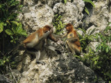 A Female Proboscis Monkey, Nasalis Larvatus, Gets Help with Infant Care from Another Female Photographic Print by Tim Laman