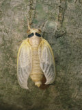 A Brood X, 17-Year Cicada Newly Emerged from its Nymphal Exoskeleton Photographic Print by Darlyne A. Murawski