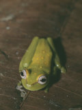 Close View of a Dainty Tree Frog Photographic Print by Nicole Duplaix