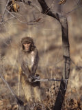 Rhesus Monkey in Tree, Qinhuangdao Zoo, Hebei Province, China Photographic Print by Raymond Gehman