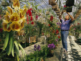 A Man Inspects Scores of Orchid Hybrids at His Florida Nursery Impressão fotográfica por Jonathan Blair