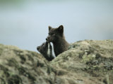 A Young Arctic Fox Nuzzles its Mother Photographic Print by Joel Sartore