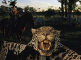 A Jaguar Pelt Taken by a Local Cattle Rancher Photographic Print by Steve Winter