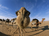 Nose to Nose with a Camel, the Photographer Peter Zooms in for a Little Fun Photographic Print by Carsten Peter
