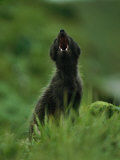 Close View of a Vocalizing Arctic Fox Photographic Print by Joel Sartore