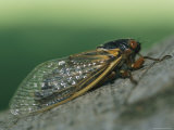 Close View of a Brood X, 17-Year Cicada Photographic Print by Darlyne A. Murawski