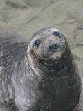 A Portrait of a Female Elephant Seal Photographic Print by Marc Moritsch