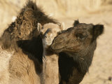 A Male and Female Camel Nuzzle Each Other in the Sahara Desert Photographic Print by Carsten Peter
