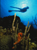 A Silhouetted Diver Swims Above a Seahorse Tethered to Coral Photographic Print by George Grall