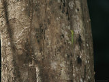 A Small Green Lizard Rests on a Tree Trunk Near a Termite Tunnel Photographic Print by Tim Laman