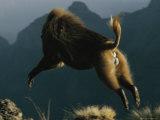 A Male Gelada Leaps Through the Air Photographic Print by Michael Nichols