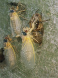 Newly Emerged Brood X, 17-Year Cicadas, Showing Nymphal Exoskeleton Photographic Print by Darlyne A. Murawski