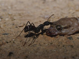 Ant Pulling and Feeding on a Dead Gecko Photographic Print by Jason Edwards