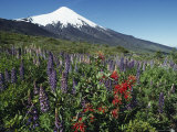 The Snow-Capped Top of Osorno Volcano Towers over Lupine Flowers Photographic Print
