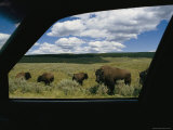 American Bison (Bison Bison)Photographed from Inside a Car Photographic Print by Raymond Gehman
