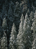 Snow Covers a Forest of Evergreen Trees in Flagstaff, Arizona Photographic Print by John Burcham