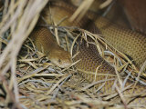 A Venomous Mulga or King Brown Snake in a Grassy Hiding Spot Photographic Print by Jason Edwards