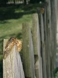 A Newly Emerged Brood X, 17-Year Cicada Next to a Nymphal Exoskeleton Photographic Print by Darlyne A. Murawski