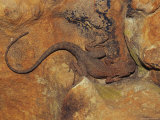 A Rusty Crevice Dragon Resting on a Sun Warmed Rock Photographic Print by Jason Edwards