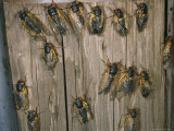 Adult Brood X, 17-Year Cicadas Photographic Print by Darlyne A. Murawski