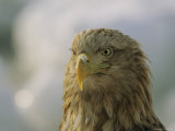Portrait of an Endangered White-Tailed Sea Eagle Photographie par Tim Laman
