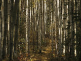 A Stand of Birch Trees Show Their Autumn Color in the Boreal Forest Photographic Print by Raymond Gehman