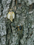 A Newly Emerged White Brood X Cicada Next to an Older Black Adult Photographic Print by Darlyne A. Murawski