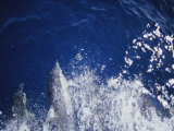 A Pod of Common Dolphins Swimming in a Boats Wake Photographic Print by Jason Edwards