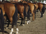 The Hindquarters of a Row of Well-Groomed Horses Photographic Print by Sisse Brimberg