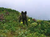 An Arctic Fox Amongst Wildflowers on a St. Paul Island Hilltop Photographic Print by Joel Sartore