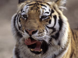 Tiger, Qinhuangdao Zoo, Hebei Province, China Photographic Print by Raymond Gehman