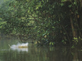 With a Splash, a Female Proboscis Monkey, Nasalis Larvatus, Lands in the Water Photographic Print by Tim Laman