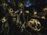 A Collection of Jaguar Skulls Taken by Local Cattle Ranchers Photographic Print by Steve Winter