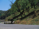 A Goatherd Leads His Flock of Goats Along a Rural Road Near Beijing Photographic Print by Raymond Gehman