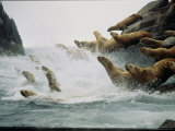 Steller Sea Lions Take to the Waters of the Gulf of Alaska Amid Foam and Spray Photographic Print by Joel Sartore