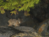 A Thin Coyote Sheltering under Tree Branches Amid Large Boulders Photographic Print by Ralph Lee Hopkins