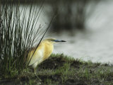 A Squacco Heron Rests Near the Waters Edge Photographic Print by Klaus Nigge
