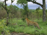 Leopard Hunts on a Private Game Reserve in South Africa Photographic Print by Kim Wolhuter